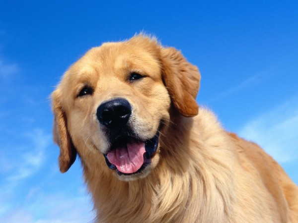 Golden Retriever head wallpaper (2)