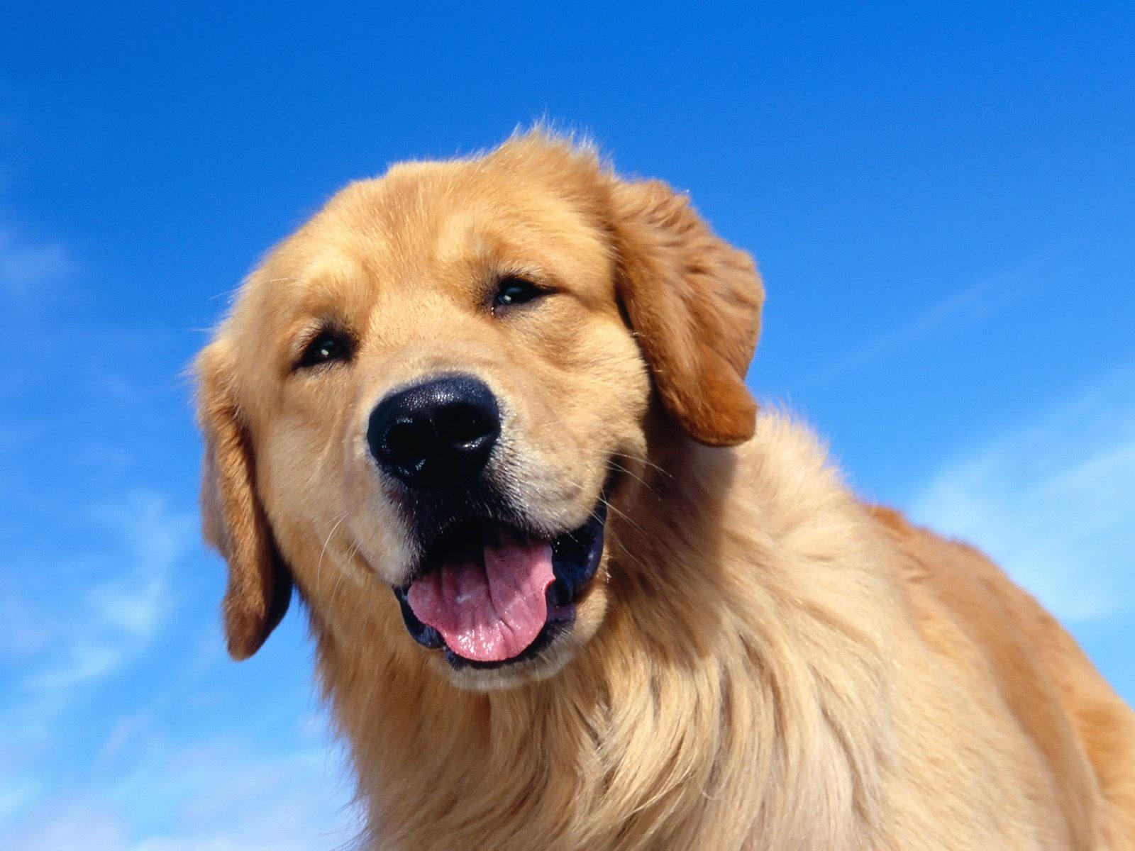 Golden retriever my doggy rocks golden retriever head wallpaper 2 nvjuhfo Choice Image