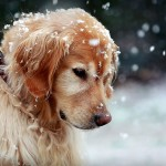 Golden Retriever in snow wallpaper