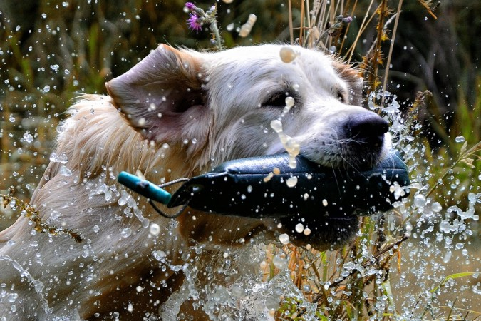 Golden Retriever in water