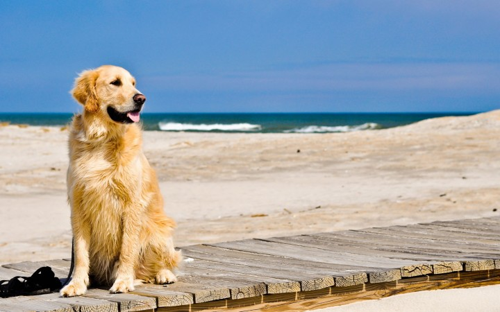 Golden Retriever on beach wallpaper