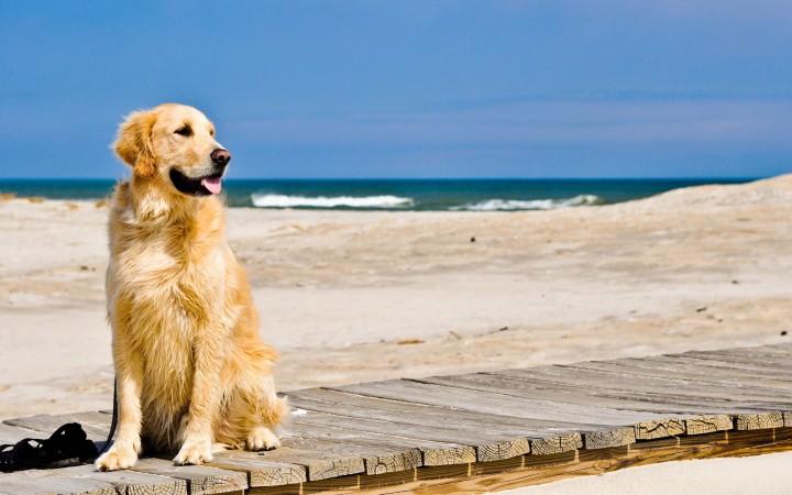 Golden Retriever on beach wallpaper