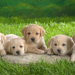Golden Retriever puppies wallpaper (2)