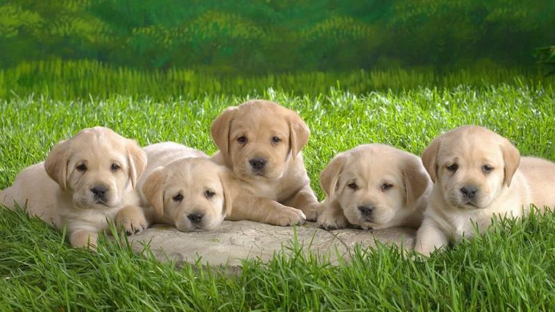 Golden Retriever puppies wallpaper (2)