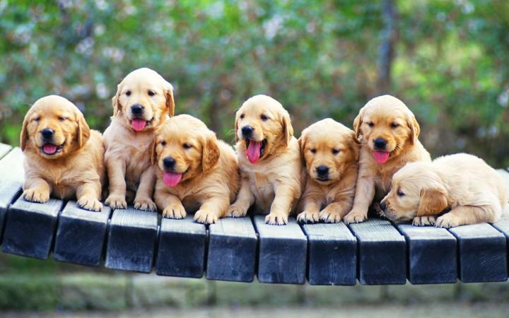 Golden Retriever puppies wallpaper