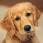 Golden Retriever puppy head