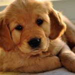Golden Retriever puppy wallpaper (2)