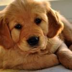 Golden Retriever puppy wallpaper (2)
