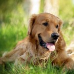 Golden Retriever wallpaper (2)