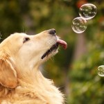 Golden Retriever wallpaper (3)