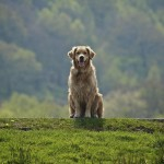 Golden Retriever wallpaper (6)