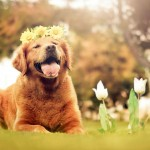 Golden Retriever wallpaper (8)