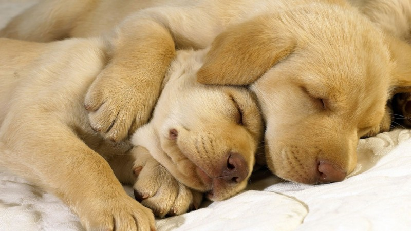 Golden Retrievers sleeping