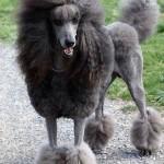Gray standard poodle