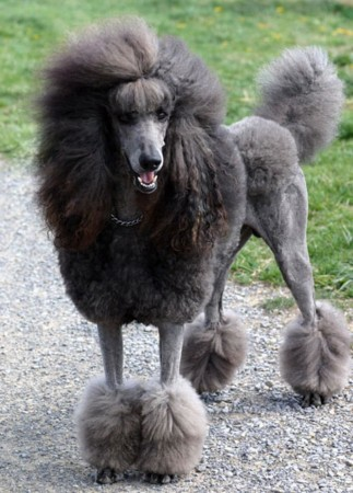 Gray standard poodle