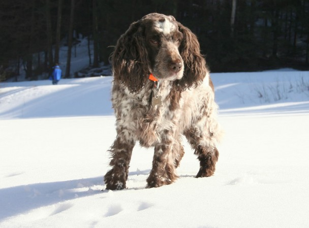 Liver and white ticked English Cocker Spaniel