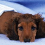 Long haired Dachshund head