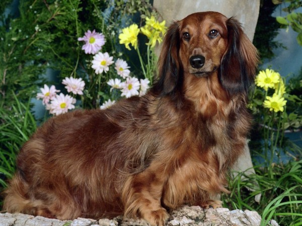 Long haired Dachshund wallpaper