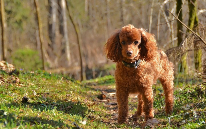 Medium poodle wallpaper