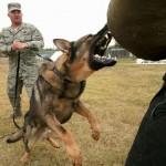 Military German Shepherd attacking