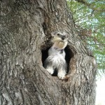 Miniature Schnauzer in tree wallpaper