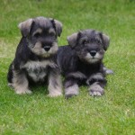 Miniature Schnauzer puppies (2)