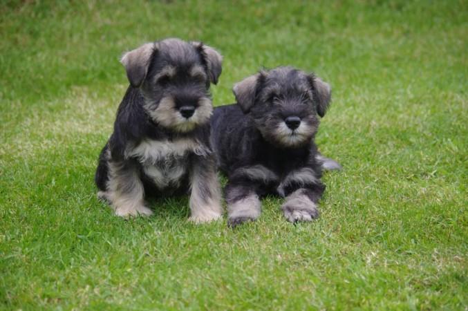 Miniature Schnauzer puppies (2)