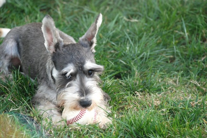 Miniature Schnauzer with ball