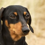 Miniature black and tan Dachshund