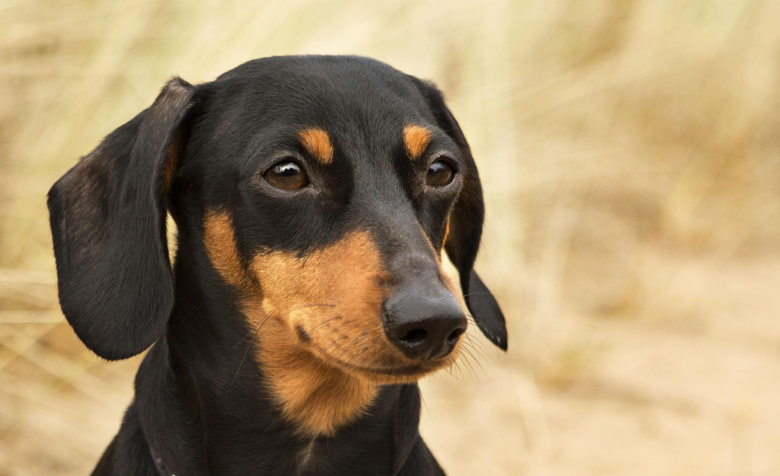 Miniature black and tan dachshund