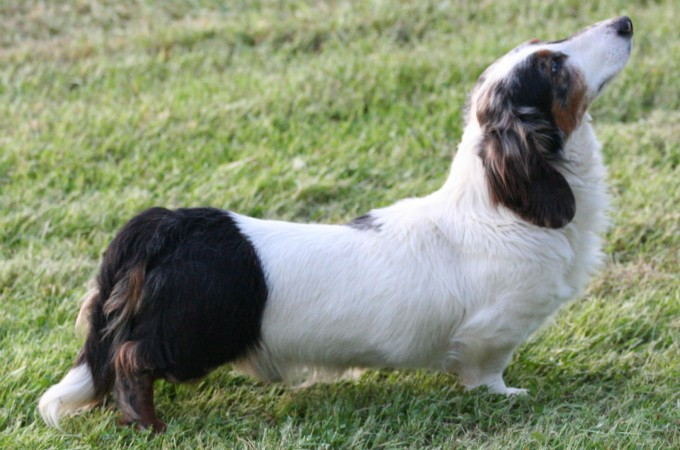 Parti color longhaired Dachshund