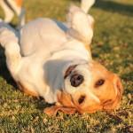 Playful Beagle Dog