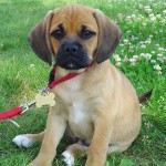 Puggle - Beagle and Pug mix