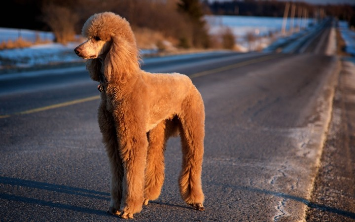Red Poodle wallpaper