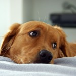 Sad golden retriever wallpaper