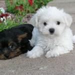 Shih Tzu and Maltese