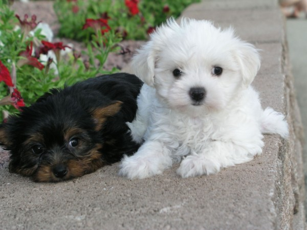 Shih Tzu and Maltese