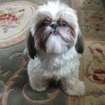 Shih Tzu on carpet