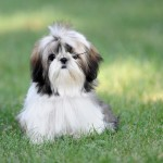 Shih Tzu on grass