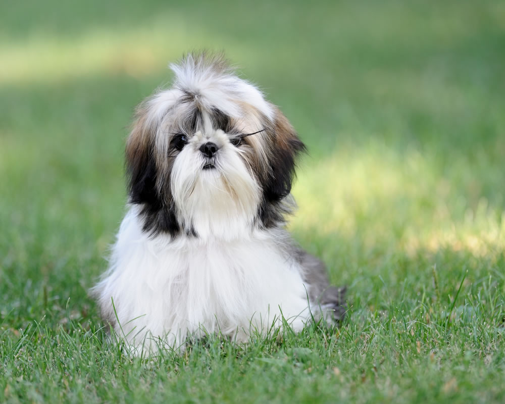 chinese shih tzu names shih tzu my doggy rocks 9529