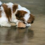 Shih Tzu puppy playing