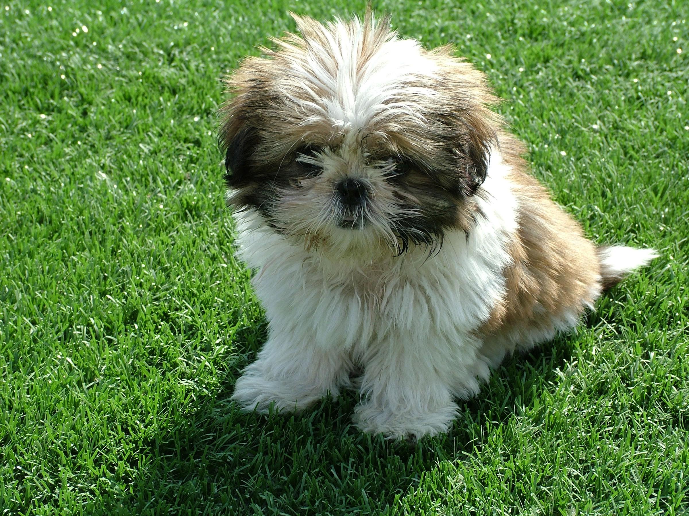 Shih Tzu Puppy My Doggy Rocks