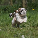 Shih Tzu running wallpaper