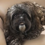 Black/brown Shih Tzu wallpaper