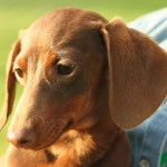 Short haired Dachshund head
