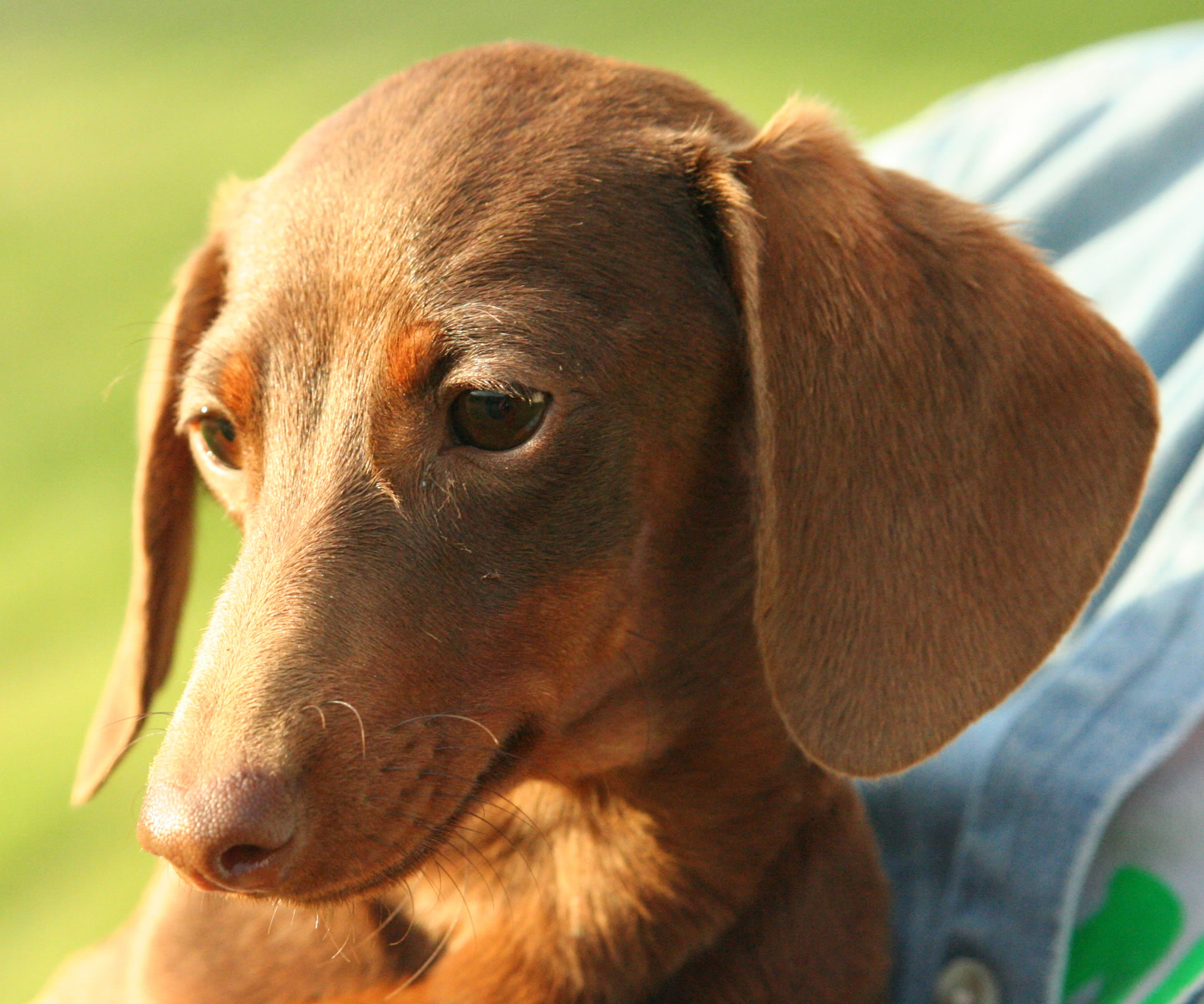 Dachshund - My Doggy R...
