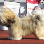 Show cut cream colored Shih Tzu