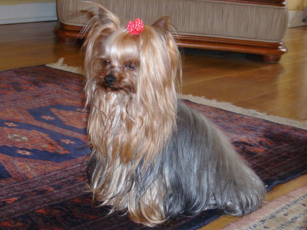 Silver blue and pale cream Yorkshire Terrier
