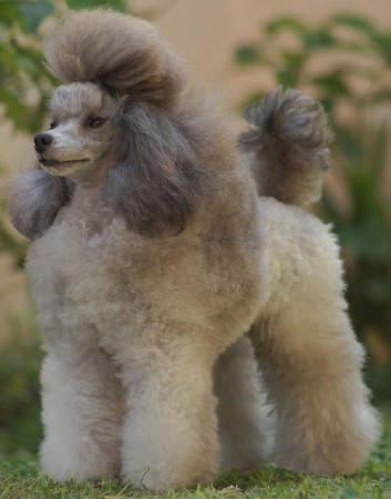 Solid gray coated Poodle