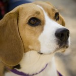 Tan and white Beagle portrait
